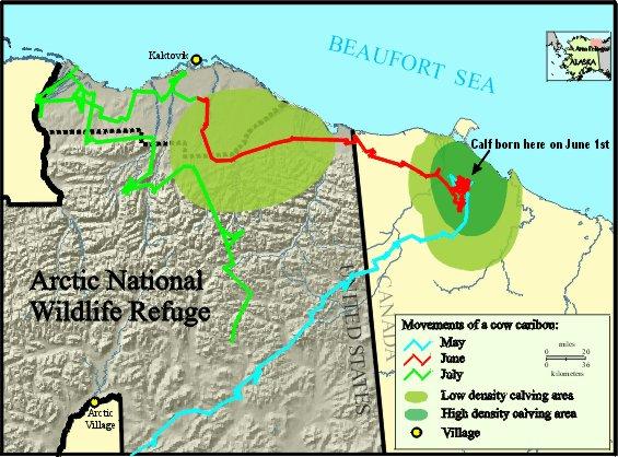Anwr Alaska Map.Anwr Caribou Movements